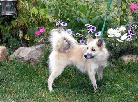 icelandic dogs for sale