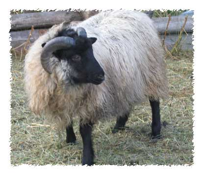 icelandic sheep for sale